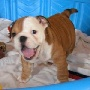 cute english bulldog puppy looking for a new home